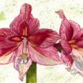 Amazing Amaryllis