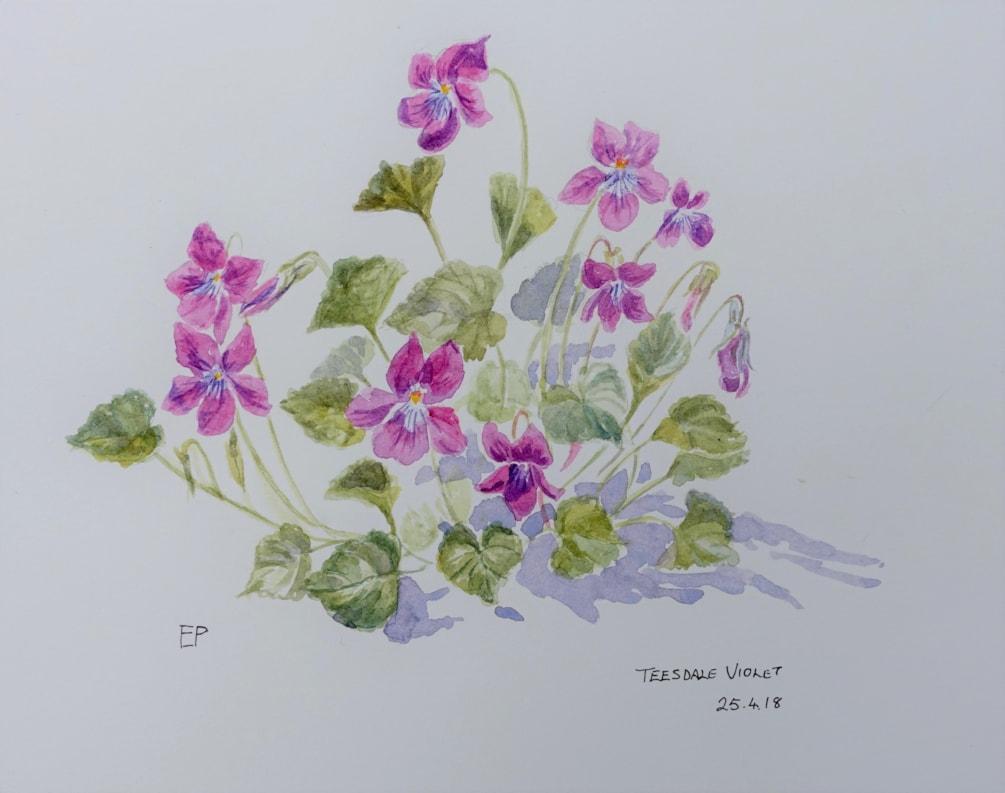 Teesdale violet