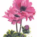 Anenomes (Voted best in show at Alloa Art Club 2015)