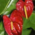 Antheriums, Red