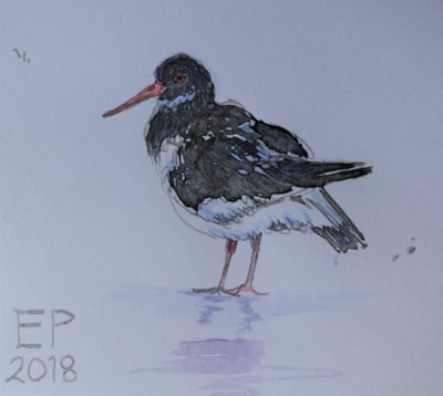 Using a home-made reed pen to sketch an oystercatcher
