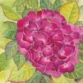 My Red Hydrangea