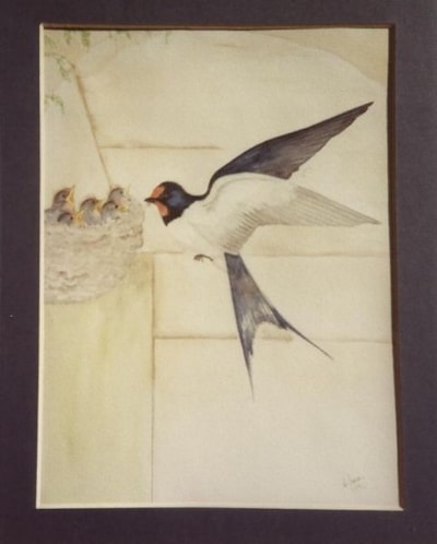 Swallow & young