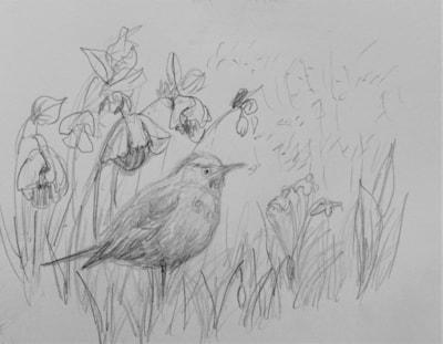 Blackbird sheltering under the hellebores