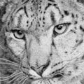 The Solitary Snow Leopard (stippling)