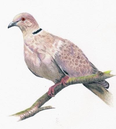 Connie the Collared Dove