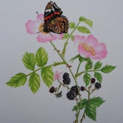 Red Admiral on blackberry