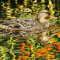 Duck in orange flower reflection