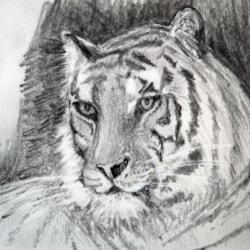 Tiger Study