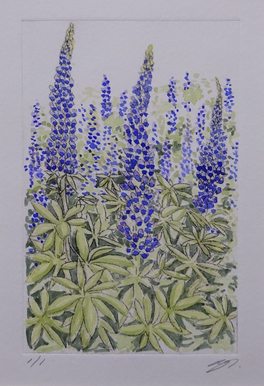 Cottage garden lupins - blues