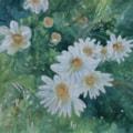 garden daisies 72