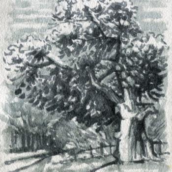 sherwood oak tree