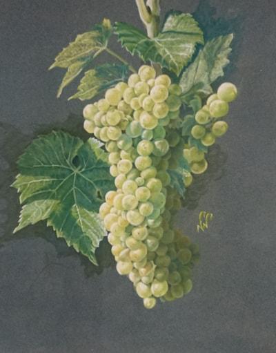 Seyval grapes