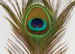 How To Draw An Iridescent Peacock Feather In Coloured Pencil