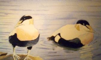 Eider ducks small painting