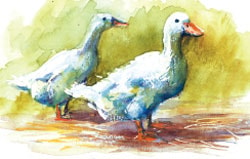 How to paint white ducks in pen and wash