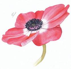 Paint a botanical watercolour anenome