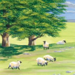 sheep6