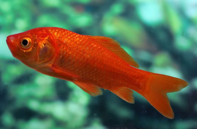Frequently Asked Questions On Goldfish Practical Fishkeeping