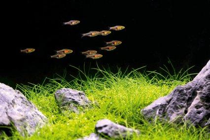 Rasboras: The Spartacus fish - Practical Fishkeeping