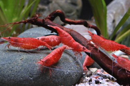 Frequently asked questions on Neocaridina shrimps - Practical