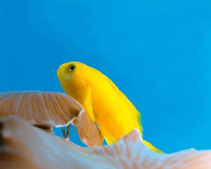 Yellow coral goby, Gobiodon okinawae - Practical Fishkeeping