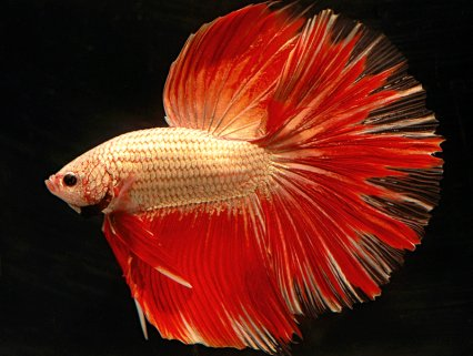The 75 most colourful fish - Practical Fishkeeping