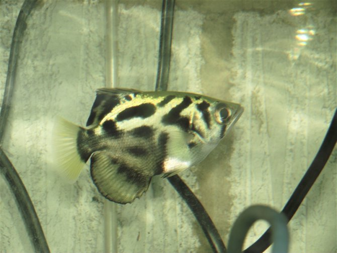 Clouded Archerfish Toxotes Blythii Practical Fishkeeping