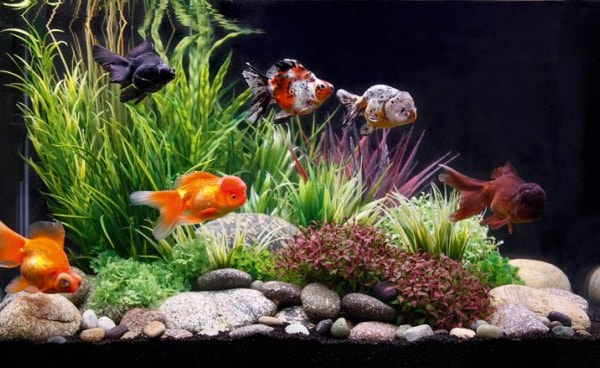 How To Get Fancy With Goldfish Practical Fishkeeping