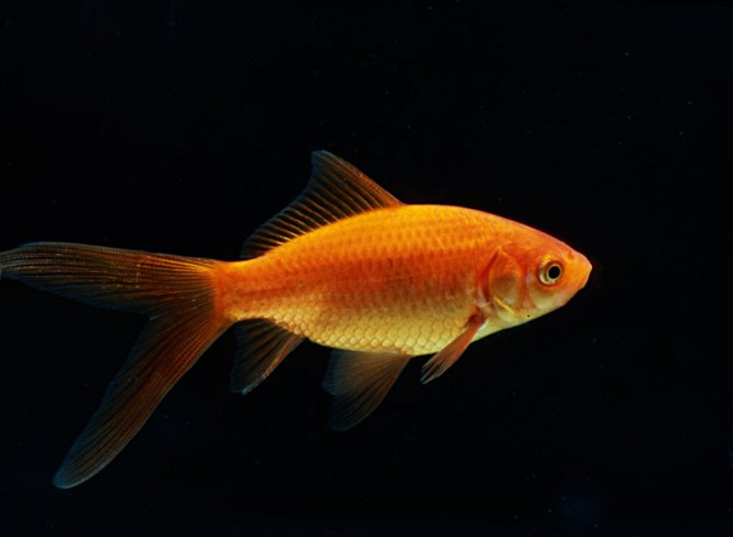 Top Five Comet Goldfish For Sale - Circus