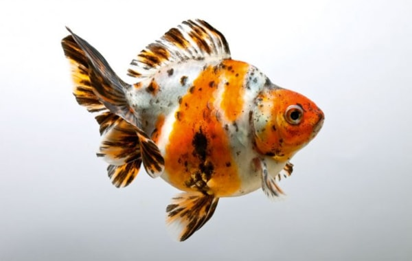How To Breed Fantail Goldfish Practical Fishkeeping