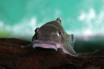 The 10 Best Algae Eaters For Tropical Tanks Practical Fishkeeping