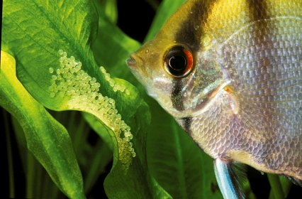Keeping And Breeding Angelfish In The Aquarium Practical Fishkeeping,Types Of Shrubs In New England