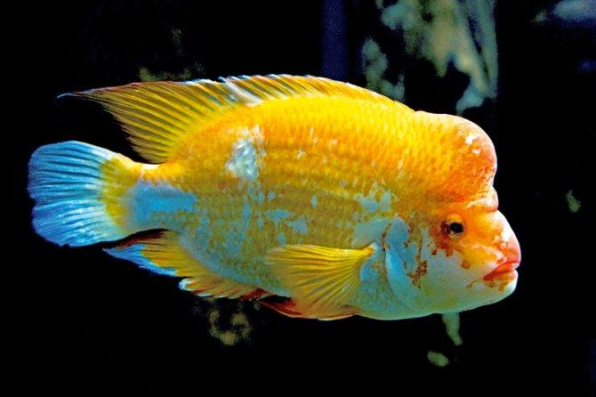 Six Best Pet Cichlids Practical Fishkeeping
