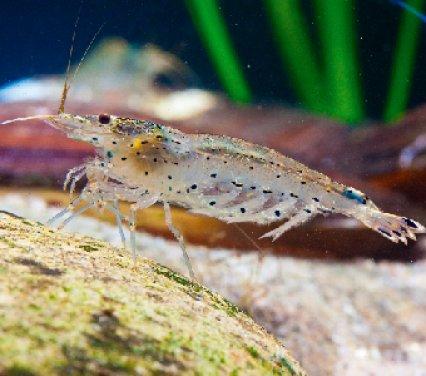 Amano shrimp: Spineless heroes - Practical Fishkeeping