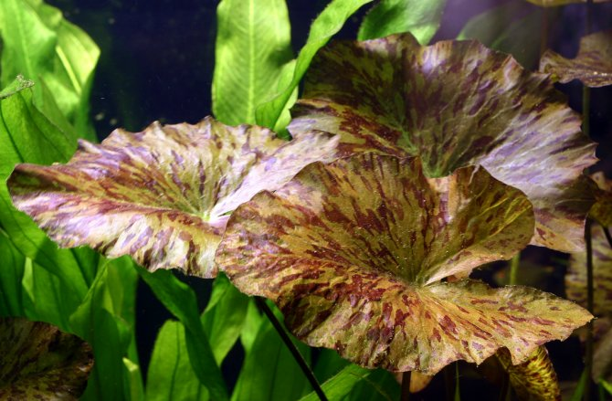 All You Need To Know About Bulb Plants Practical Fishkeeping