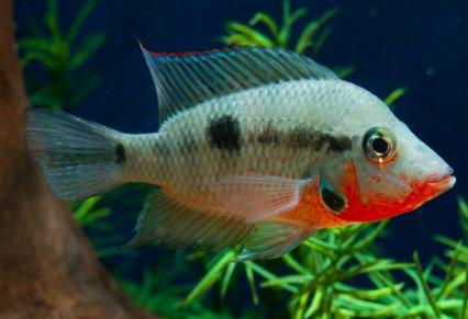 Cichlid Communities When Cultures Collide Practical Fishkeeping