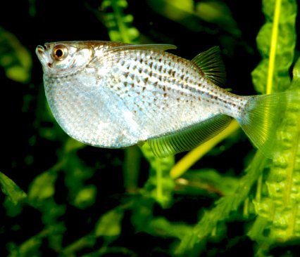 Why Hatchetfish Tick All The Right Boxes Practical Fishkeeping