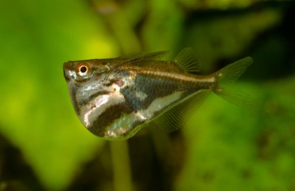 Why hatchetfish tick all the right boxes - Practical Fishkeeping