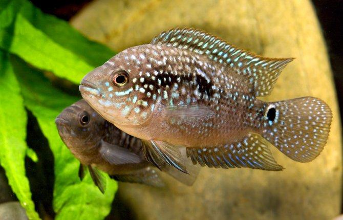 Keeping Jack Dempsey cichlids in the aquarium - Practical Fishkeeping