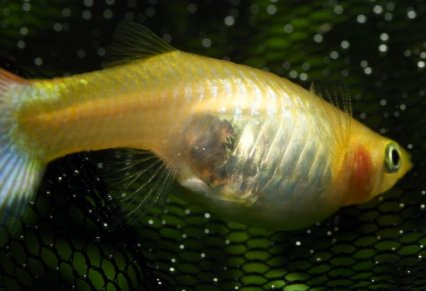 How to breed livebearing fish - Practical Fishkeeping