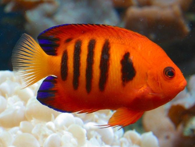 Dwarf Angelfish Heaven Sent Practical Fishkeeping
