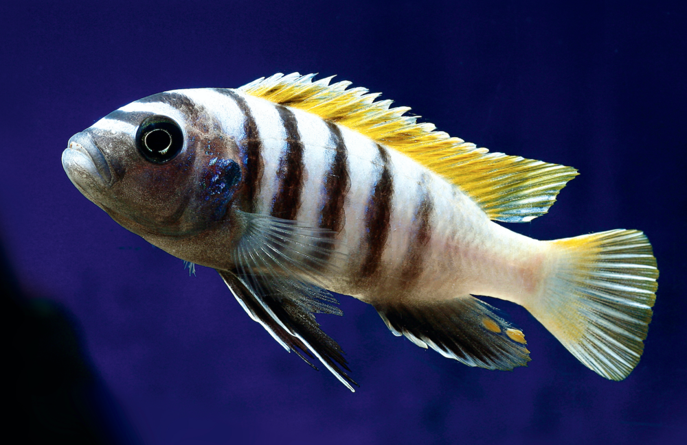 Cynotilapia afra  has the mbuna's classic blue vertical bars.