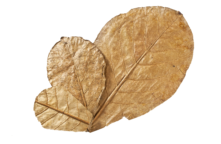 Catappa  leaves.