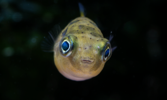 Just look at that little face... No wonder then, that so many fishkeepers find these little puffers so hard to resist.