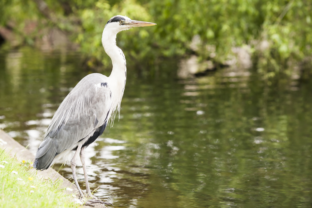 Herons can wipe out all the fish in your pond in no time. Image by Shutterstock.