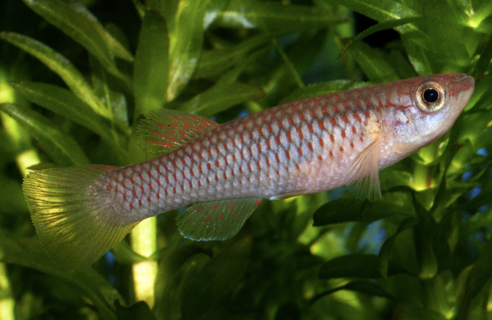 Female Striatum killies lack the intensity of the males' colours but are still attractive fish.