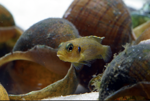Shell dwellers are among the smallest cichlids in the world.