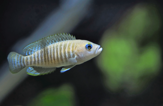 Neolamprologus multifasciatus  — you can keep a couple of pairs of these tiny fish in a tank of just 45cm/18in.