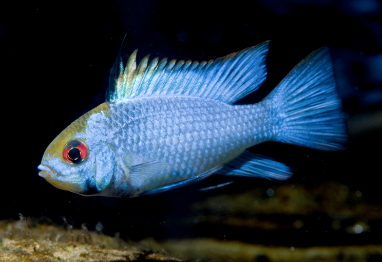 Electric blue Ram.